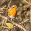 Robin. — Stock Photo