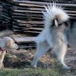 Stock Video: Husky dog playing with a labrador retriever puppy