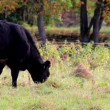 Stock Video: Cows happily grazing in meadow