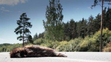 A dead Raccoon dog or dead monkey — Stock Video