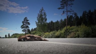 Dead animal at the side of the street — Vídeo de stock