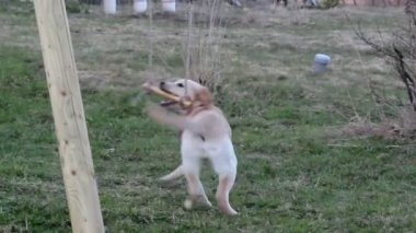 Puppy playing on the stick — Stock Video