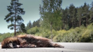 Car passed by a dead carcass of an animal Raccoon dog — Stockvideo