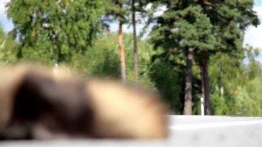 Dead animal on the street — Stock Video
