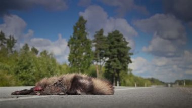 Dead Raccoon dogon the street — Stock Video