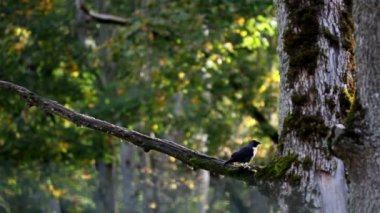 Black jackdaw Corvus monedula bird on top of the tree branch — Stok video