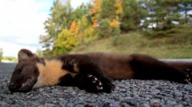 Morto europeu marta martes animal ao lado da estrada — Vídeo stock
