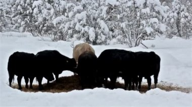 Six cows eating some grass on the snow — Stok video