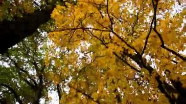 Tall maple trees and its branches autumn park — Stock Video