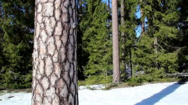 Tall pine trees on snow — Stock Video