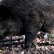 Black wild boar chewing — Stock Video