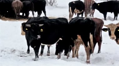 A white-spotted cow among the other black cows — Vídeo Stock