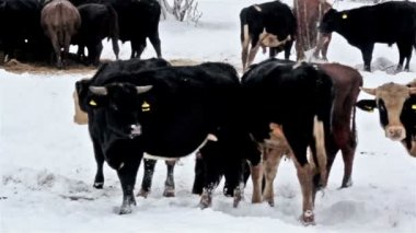 A white-spotted cow among the other black cows — Stock Video
