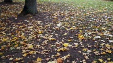 Maple leaves on the ground park autumn — Stock Video