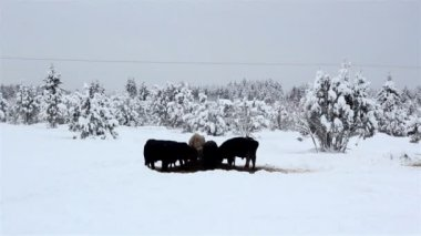 Lots of cows looking for food on snow — Vídeo de stock