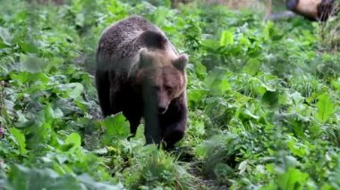 Grizzly brown bear walking in the green luscious area — Stock Video