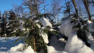 Set of small pine trees covered with snow — Stock Video