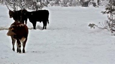 Karla kaplı bir alan üzerinde duran üç inek — Stok video