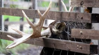 Other antler of the moose is stuck in between the fence — Stock Video