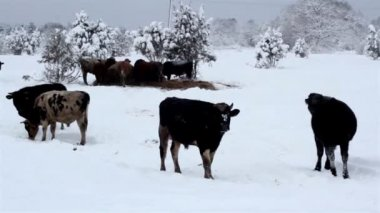 Lots of cows standing on the snow — Vídeo de Stock