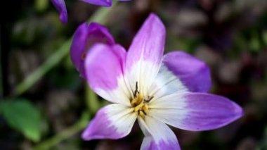 Güzel mor orkideler — Stok video