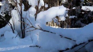 Hastes secas de plantas, cobertas de neve espessa — Vídeo stock
