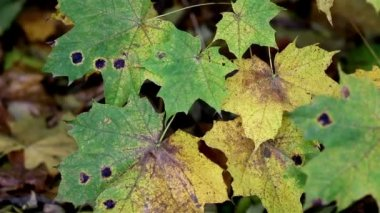Black spots found on the maple leaves — Stock Video