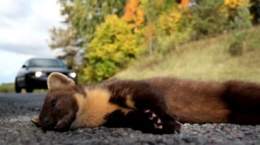 Close up image of the newly found dead European pine marten Martes animal — Stock Video
