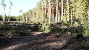 Roadblock with pine tall trees in the forest — Stock Video