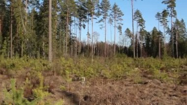 Area is surrounded with pine Pinus Silvestris trees — Stock Video