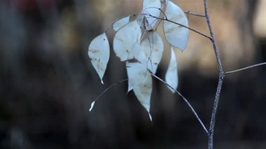 A Lunaria annua annual honesty plant with withered leaves on it — Stock Video