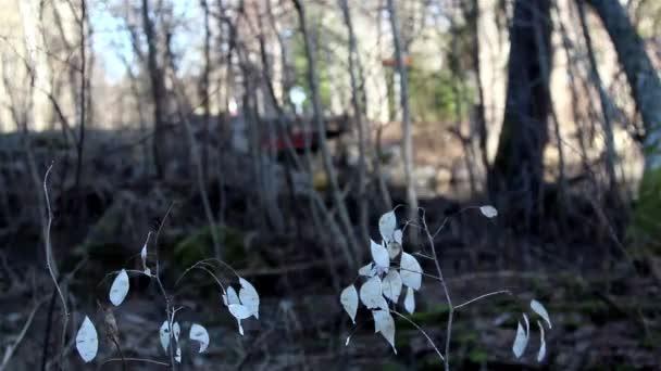 Algunos pequeños marchitaban lunaria annua anual honestidad las plantas en el suelo — Vídeo de stock