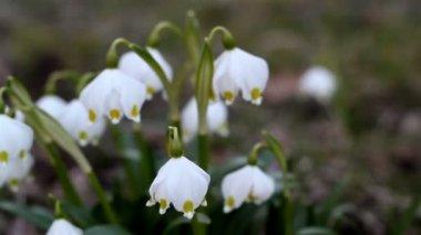 White Spring snowflake flower — Stock Video