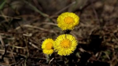 Three flowers of coltsfoot plant — Stock Video