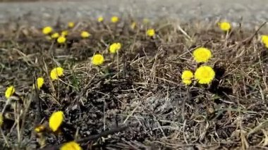 Lots of yellow coltsfoot on the ground — Stock Video