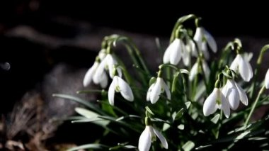 Pretty snowdrop plants — Video Stock