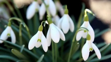 A white snowdrop flower — Stock Video