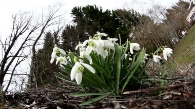 The white Galanthus plant on the backyard — Stock Video