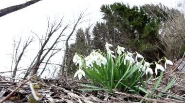 The white snowdrop Galanthus plant — Stock Video