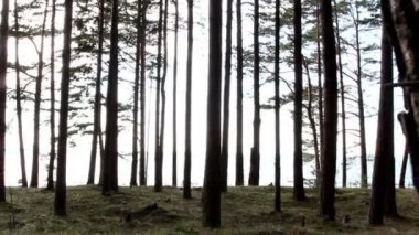 Tall pine trees in the forest — Stock Video