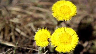 Three yellow coltsfoot flower — Stock Video