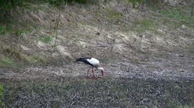 A white stork bird picking something on the ground — Stock Video