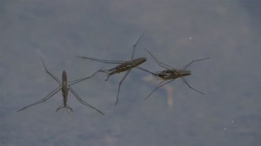 Three water strider laying on the water — Stock Video
