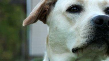 Labrador sniffing his nose — Stock Video