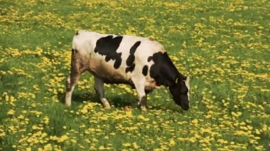 A white cow with black spots walking to the other cows — Stock video