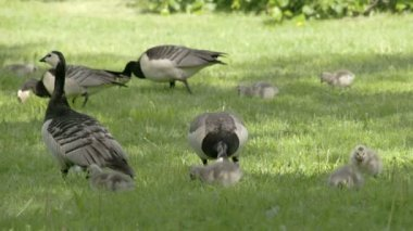 Set of goose and goslings on the grass FS700 Odyssey 7Q — Stock Video