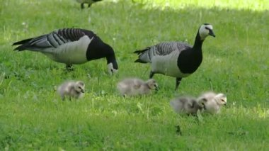 The goose and the goslings around the park FS700 Odyssey 7Q — Stock Video