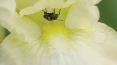 Fly on top of flowers nectar — Stock Video