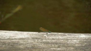 Gröna dragonfly på trä — Stockvideo