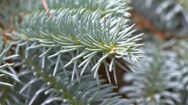 Closer look of Picea Pungens or Blue Spruce GH4 — Stock Video